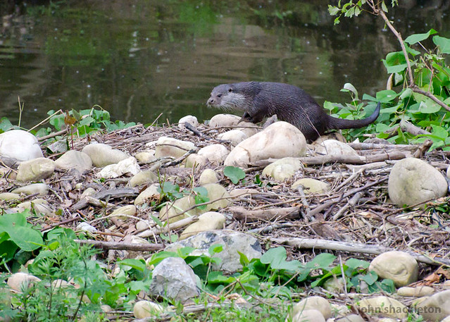 Nutria / Otter (lutra lutra)