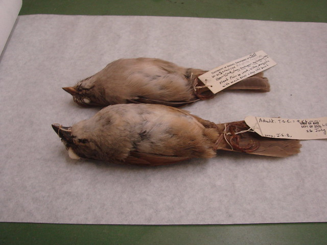 West Mexican Birds, museum skins 087