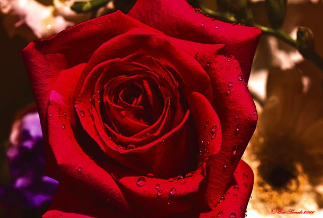 LA ROSSA  REGINA  DEI FIORI    ---  THE RED QUEEN OF FLOWERS