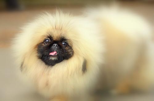 Pekingese Dog Having A Hairy Moment