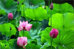 Lotus &  Waterlily