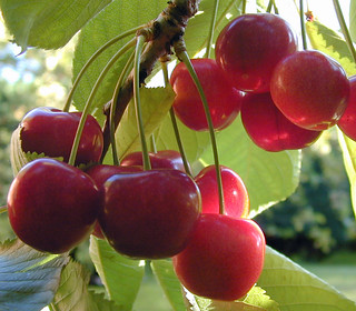 'Cherries' by D H Wright