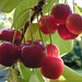 cherry image, photo or clip art