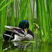 Small photo of Ente