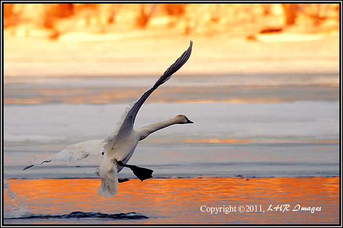morning orange wisconsin sunrise dawn swan landing hudson graceful birdinflight trumpeterswan capturenature