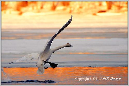 morning orange wisconsin sunrise dawn swan landing hudson graceful birdinflight trumpeterswan capturenature