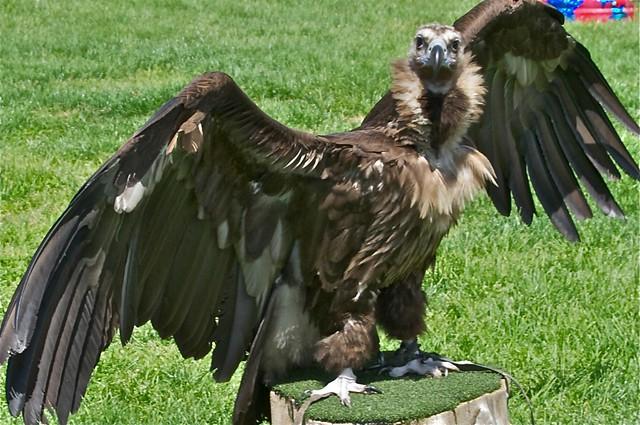 Felix the Vulture