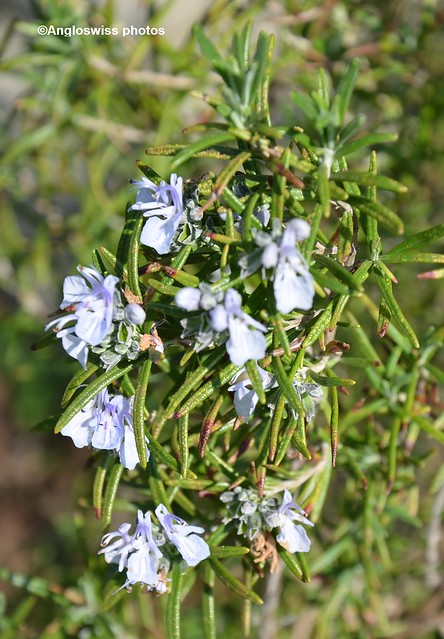 The Rosemary is flowering