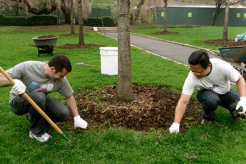 Weeding and mulching the Liberty Maples