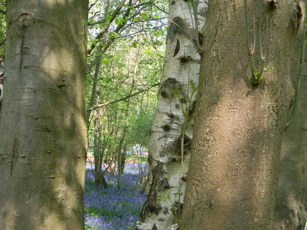 Bluebells Frant to Tunbridge Wells