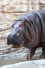 Hippopotamus - 13