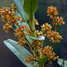 Makunda Flowers-113 - Acampe ochracea