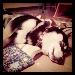 まだ寝てる柴犬
