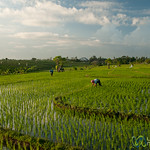 Rice Fields in Late Afternoon - Bali, Indonesia