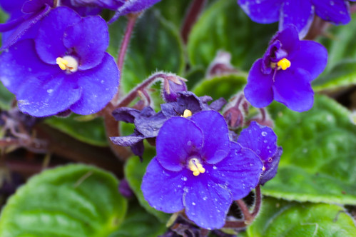 Access all areas 2 - African violets