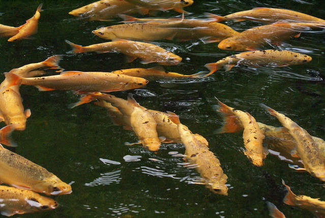 Koi carp flickr photo sharing for Koi meaning in english