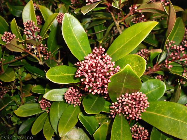 Skimmia arbusti della famiglia delle rutaceae for Skimmia pianta