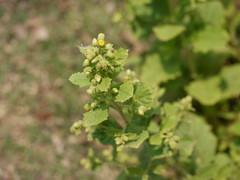 ¿ Blumea species ?