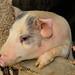 An Adoring Piglet by SewerDoc (4 million views)