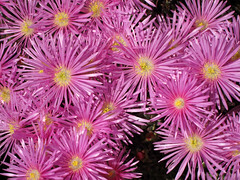 macro photography(0.0), chrysanths(0.0), dorotheanthus bellidiformis(1.0), annual plant(1.0), flower(1.0), plant(1.0), flora(1.0), ice plant(1.0), petal(1.0),