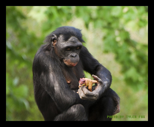 nikon dinosaur chimp ape bonobo jacksonvillezoo d80 tylersphotos