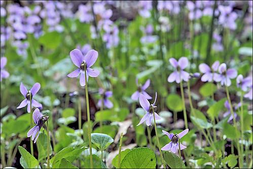 Viola uliginosa_3