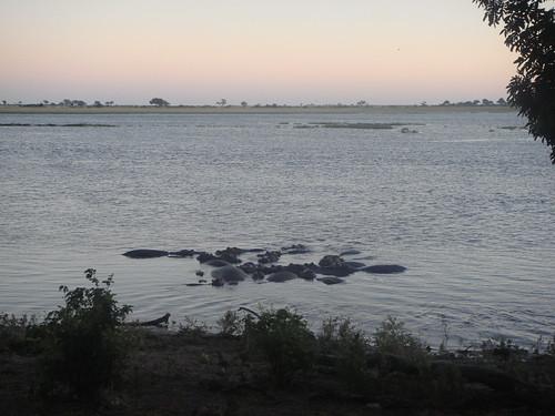 sunrise hippopotamus botswana chobe