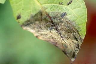 Potato (Solanum tuberosum): Late blight, caused by Phytophthora infestans