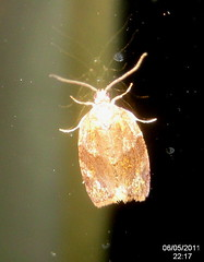 ? Barred fruit-tree tortrix