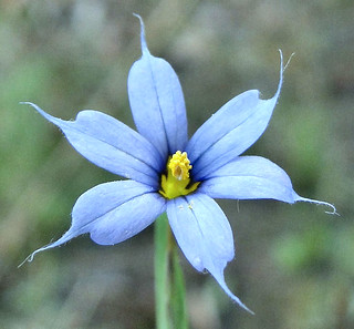 Blue-Eyed in the Rain. Sisyrinchium graminoides, Blue-Eyed Grass, Narita, Japan