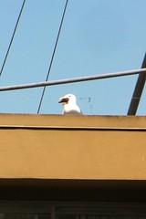 Gull eating sea star