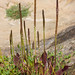 tall coastal plantain - Photo (c) Ken-ichi Ueda, some rights reserved (CC BY-NC-SA)