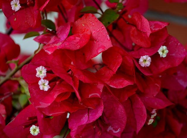 Buganvilla la buganvilla es una planta trepadora muy con flickr photo sharing - La buganvilla ...