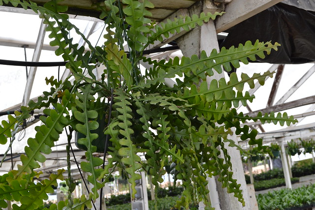 Ric Rac Cactus (Epiphyllum anguliger)
