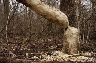 Chewedtreetrunk