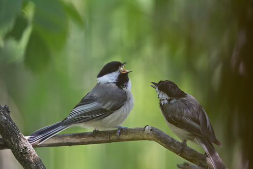 Black-capped Chickadee fledgling