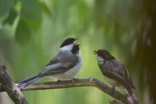 Black-capped Chickadee fledgling