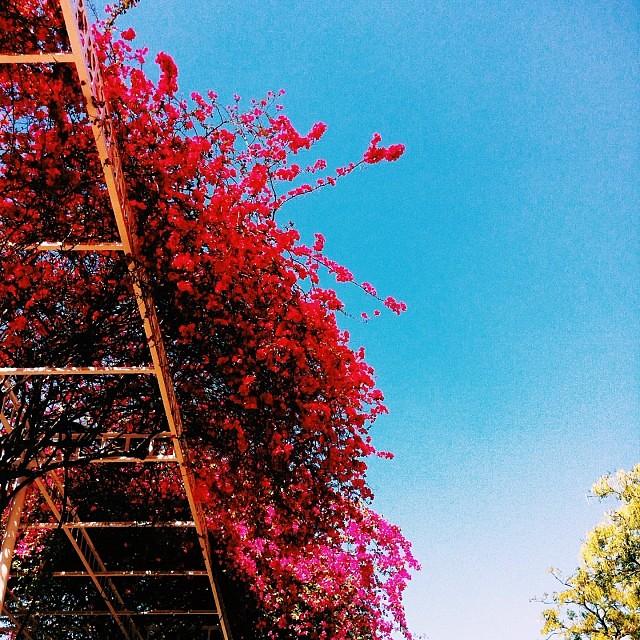 Bougainvillea bodacious #delhi #india #flowers #summer #vscocam