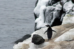 21719-Adelie-penguin-at-Cape-Royds