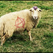 punk lamb by ooka medias - 1 Million views : TY !