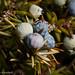 Juniper berries by Roger B.