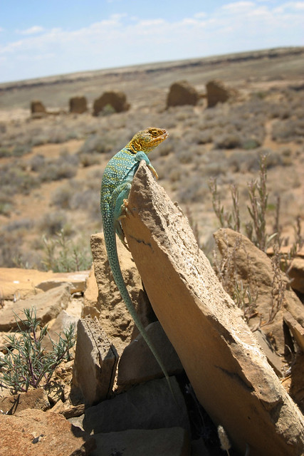 Collared Lizard Guards Peñasco Blanco