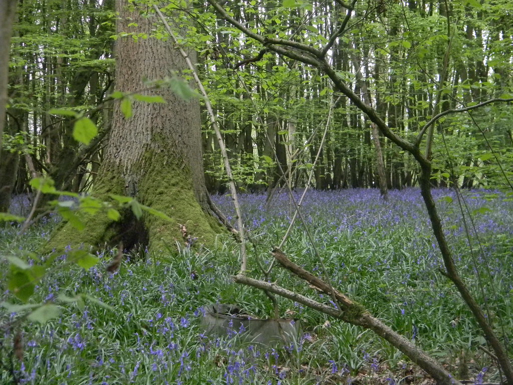 Bluebells with mossy tree Yalding to Sevenoaks