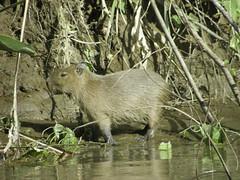 animal(1.0), rodent(1.0), fauna(1.0), capybara(1.0), wildlife(1.0),
