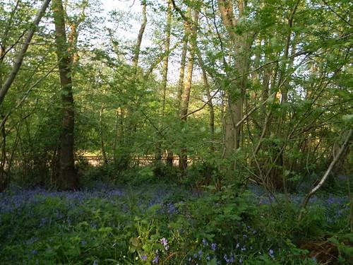 Bluebells Friezeland Wood