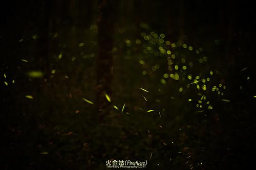 古坑華山螢火蟲#7