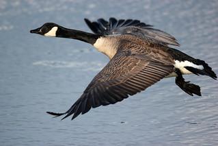 Branta canadensis (Canada Goose)