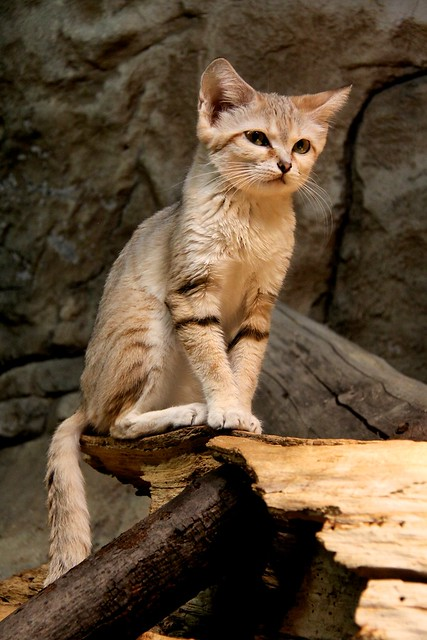 Cute Sand Cat | Flickr - Photo Sharing!