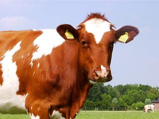 Diary Cow
