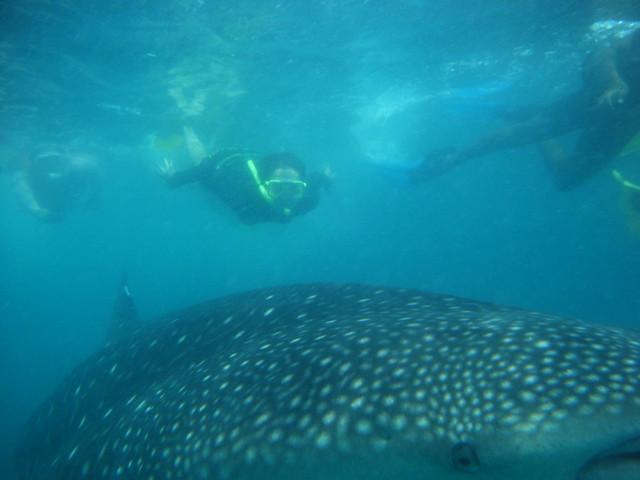 拍下與鯨鯊的精采瞬間